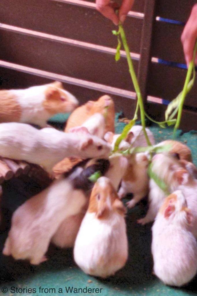 Feeding the Guinea Pigs